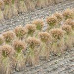 RicePro NG Bio - protéine de riz bio